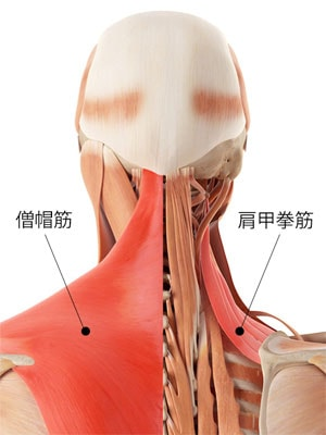 僧帽筋と肩甲挙筋の説明